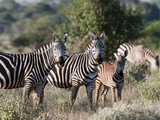 Grant's Zebra (Equus Quagga Boehmi)  Lualenyi Game Reserve  Kenya  East Africa  Africa