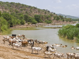 Cattle at the Omo River  Omo Valley  Ethiopia  Africa