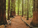Walkway  the Redwoods  Rotorua  Bay of Plenty  North Island  New Zealand  Pacific