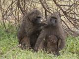 Olive Baboon (Papio Anubis)  Samburu National Park  Kenya  East Africa  Africa