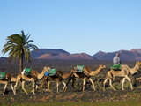 Excursion By Camel to Visit Volcano  National Park of Timanfaya  Lanzarote  Canary Islands  Spain
