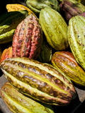 Chocolate Fruits From a Theobroma Cacao Tree  Madagascar  Africa