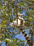 Ring-Tailed Lemur (Lemur Catta)  Berenty Private Reserve  Madagascar  Africa