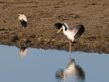 Yellow-Billed Stork (Mycteria Ibis)  Lualenyi Game Reserve  Kenya  East Africa  Africa