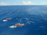 Dolphins Swimming in Maldives  Indian Ocean  Asia