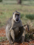 Yellow Baboon (Papio Hamadryas Cynocephalus)  Tsavo East National Park  Kenya  East Africa  Africa