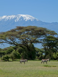 Zebra  Amboseli National Park  With Mount Kilimanjaro in the Background  Kenya  East Africa  Africa