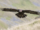 A Captive Golden Eagle (Aquila Chrysaetos)  Flying Over Moorland  United Kingdom  Europe