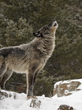 Captive Gray Wolf (Canis Lupus) Howling in the Snow  Near Bozeman  Montana  USA