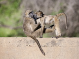 Chacma Baboons (Papio Cynocephalus Ursinus) Playing  Kruger National Park  Mpumalanga  South Africa