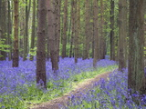 Bluebell Wood  Warwickshire  England  United Kingdom  Europe