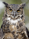 Great Horned Owl (Bubo Virginianus) in Captivity  Wasilla  Alaska  USA