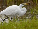 Great Egret (Ardea Alba) Flipping Prey in Its Beak  San Jacinto Wildlife Area  California