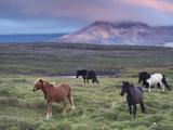Icelandic Horses  Near Stykkisholmur  Snaefellsness Peninsula  West Iceland  Iceland  Polar Regions