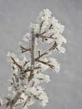 Hoar Frost on a Branch  Bryce Canyon National Park  Utah  USA