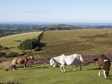 Dartmoor Ponies  Dartmoor  Devon  England  United Kingdom  Europe