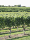 Vineyard of Winery  the Hamptons  Long Island  New York  United States of America  North America