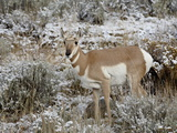 Pronghorn (Antilocapra Americana) in the Snow  Grand Teton National Park  Wyoming  USA