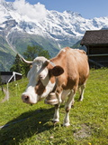 Jungfrau Massif and Cow Near Murren  Jungfrau Region  Switzerland  Europe