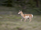 Female Pronghorn (Antilocapra Americana) Running  Park County  Colorado  USA