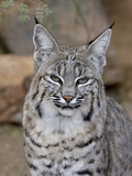 Bobcat (Lynx Rufus) in Captivity  Arizona Sonora Desert Museum  Tucson  Arizona  USA