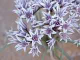 Prairie Wild Onion (Allium Textile)  Goblin Valley State Park  Utah
