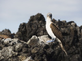 Blue Footed Boobies (Sula Nebouxi)  the Tintoreras  Isla Isabela  Galapagos Islands  Ecuador