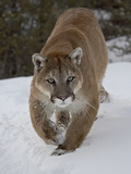 Mountain Lion (Cougar) (Felis Concolor) in Snow in Captivity  Near Bozeman  Montana