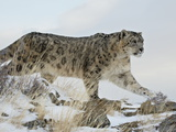 Snow Leopard (Uncia Uncia)  in Captivity  Near Bozeman  Montana  USA