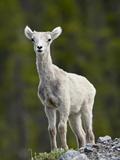 Stone Sheep (Ovis Dalli Stonei) Lamb  Muncho Lake Provincial Park  British Columbia  Canada