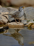 White-Crowned Sparrow (Zonotrichia Leucophrys) Reflected in a Pond  the Pond  Amado  Arizona  USA
