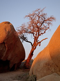 Bare Tree Among Boulders at Sunrise  Joshua Tree National Park  California
