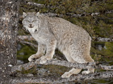Canadian Lynx (Lynx Canadensis) in a Tree  in Captivity  Near Bozeman  Montana  USA