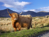 Highland Cattle  Isle of Mull  Inner Hebrides  Scotland  Uk