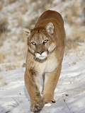 Mountain Lion (Cougar) (Felis Concolor) in the Snow  in Captivity  Near Bozeman  Montana  USA