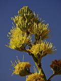 Desert Agave (Century Plant) (Agave Deserti)  Anza-Borrego Desert State Park  California