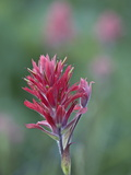 Giant Red Paintbrush (Indian Paintbrush) (Castilleja Miniata)  Yellowstone National Park  Wyoming