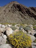 Brittlebush (Encilia Farinosa) in Borrego Palm Canyon  Anza-Borrego Desert State Park  California