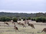 Kangaroo Island Grey Kangaroos (Macropus Fuliginosus)  Kelly Hill Conservation  Australia