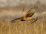 Female Northern Harrier (Circus Cyaneus) in Flight While Hunting  Farmington Bay  Utah  USA