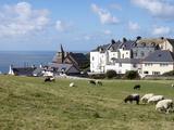 Grazing Sheep  Mortehoe  Devon  England  United Kingdom  Europe