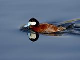 Male Ruddy Duck (Oxyura Jamaicensis) Swimming  Sweetwater Wetlands  Tucson  Arizona  USA