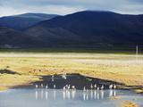 James Flamingos (Phoenicoparrus Jamesi)  Bolivia  South America