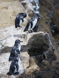 Galapagos Penguins (Spheniscus Mendiculus)  Isla Isabela  Galapagos Islands  Ecuador