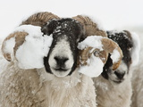 Northumberland Blackface Sheep in Snow  Tarset  Hexham  Northumberland  England  United Kingdom