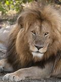 Lion (Panthera Leo)  Masai Mara  Kenya  East Africa  Africa