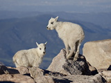 Two Mountain Goat (Oreamnos Americanus) Kids  Mount Evans  Colorado  USA
