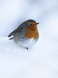 Robin (Erithacus Rubecula)  in Snow  United Kingdom  Europe