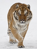 Captive Siberian Tiger (Panthera Tigris Altaica) in the Snow  Near Bozeman  Montana  USA
