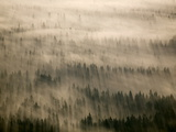 Aerial of Douglas Fir Trees in Morning Fog  Washington State  USA